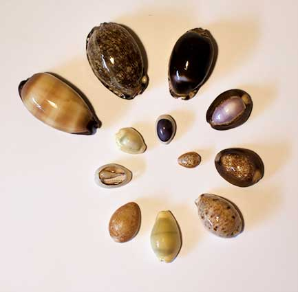 Cowrie shells come in a wide variety of sizes and colors