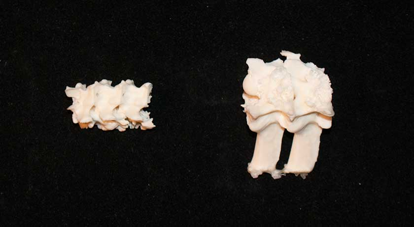 Fused Snake vertebrae for a bone reading set