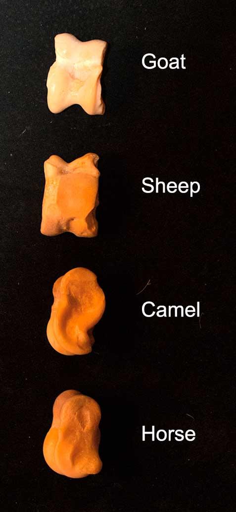 Sheep Astragulus