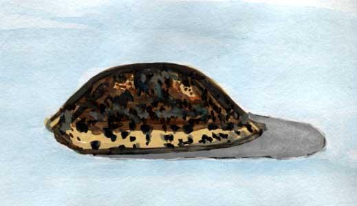 Mole Cowrie Shell