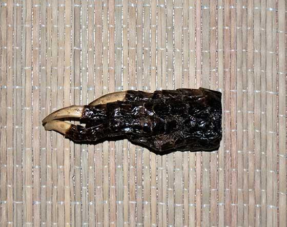 alligator-foot