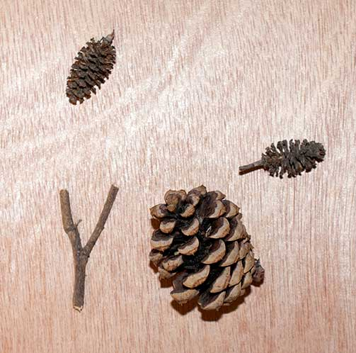 Twigs, seeds, and cones.