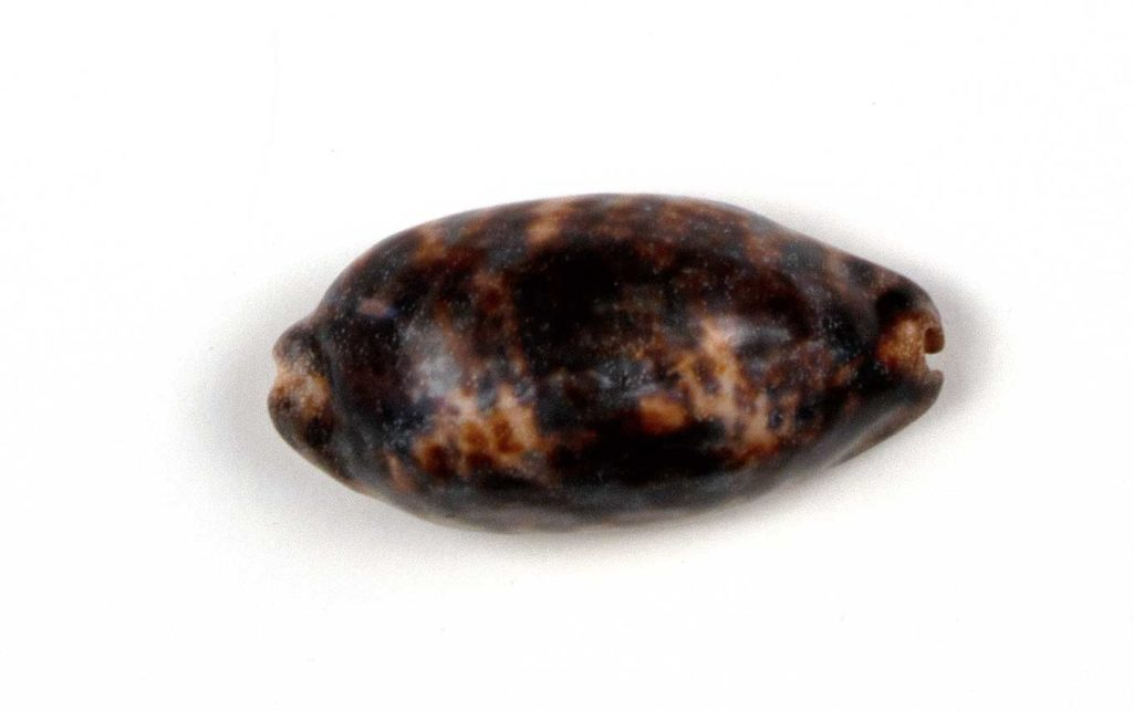Cowrie shell used in bone divination set